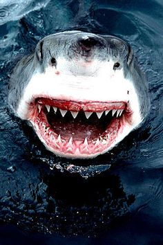 Shark-Great White..aww look how happy he is for the camera:)haha
