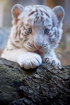 Bebé tigre albino sobre un tronco de un árbol