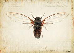Vintage Cicada on French Ephemera Print 8x10 P55 by OrangeTail, $14.00