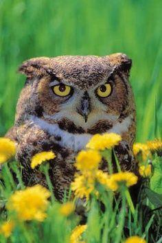 Spring Owl photo