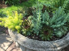 Growing Succulents in Containers.  Sedum and sempervivums growing in a concrete urn