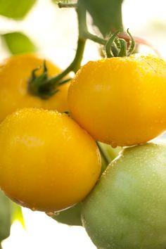Plus de 35 variétés de tomates bio sont disponibles chez Botanic.