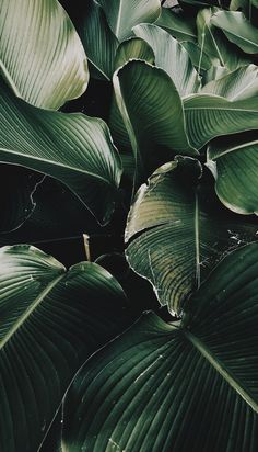 I have this plant at home, filling my tiny bathroom and I love it & green tropical plant leaves print Plant Wallpaper, Nature Wallpaper, Screen Wallpaper, Leaves Wallpaper, Iphone Wallpaper Tropical, Color Wallpaper Iphone, Forest Wallpaper, Painting Wallpaper, Cool Plants