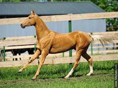 Akhal-teke horses for sale - Gaiduvsyz(Galaly - Simfonia)