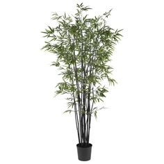The black bamboo tree is rare and known for its hardiness. But this 6.5' Black Bamboo Silk Tree can easily be yours. Its bright, slender, and crisp leaves are a beautiful contrast to the deep colored trunks and classic black pot. Elegant and exotic!