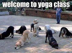 """Welcome To Yoga Class : DOGS - Also Known As """"Doga"""" - Funny Animal Pictures With Captions - Very Funny Cats - Cute Kitty Cat - Wild Animals - Dogs"""