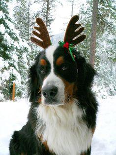 Santa's Helper...what a beautiful berner!!!