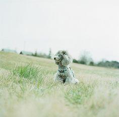 poodle :)