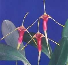 Masdevallia saltatrix ,  just one of the aprox. 500 of  beautiful and most rare orchids, for now...