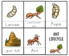 Ant Lifecycle Printable 2 By GwynMarch 04, 2015 // No commentsAnt Lifecycle Printable 2