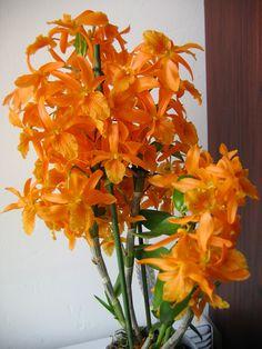 Dendrobium nobile narancssárga-ilyet szeretnék