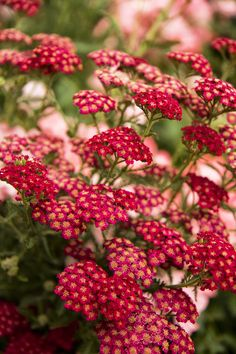 Red Velvet Yarrow is drought-tolerant and beloved by butterflies. Yarrows have a distinct texture and shape that helps add depth to flowering borders. Rich, velvety red flowers are the most fade resistant to date. Zone: 3 – 9 Red in the garden. Drought Resistant Plants, Drought Tolerant Garden, Flowers Perennials, Planting Flowers, Flower Gardening, Zone 4 Perennials, Water Wise, Plantation, Xeriscaping