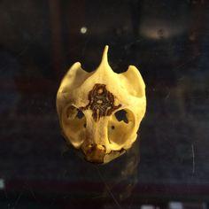Red Eared Slider Turtle Skull
