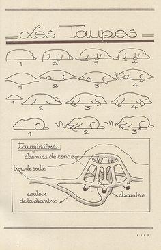 How to draw moles + diagram of a molehill. (les animaux 54   Flickr : partage de photos)!