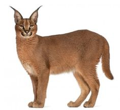 Caracal Caracal, Baby Caracal, 6 Month Olds, Cute Baby Animals, Cool Cats, Art Inspo, Kangaroo, 6 Months, Cute Babies