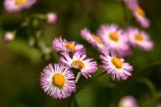 Wild Pink Asters stock photo