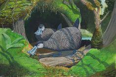 Illustration of extinct Kaua'i mole ducks (Talpanas lippa) forage on the forest floor for invertebrate prey with their broad, sensitive bills. Prehistoric Wildlife, Prehistoric Creatures, Wildlife Art, Extinct Animals, Extinct Birds, Curious Creatures, Fantasy Creatures, Nature Pictures, Science Nature