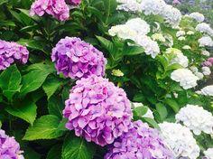 [p] 近所に咲いていた紫陽花です。梅雨の時期は鬱々としていて嫌だけれども少しずつ梅雨を好きになる瞬間。