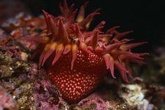 Strawberry Anenome