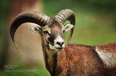 Mouflon by olpe via http://ift.tt/2u5GMNx