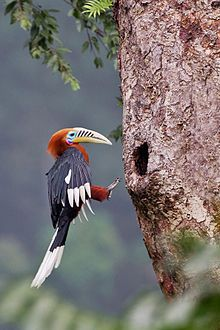 The rufous-necked hornbill is a species of hornbill in the northeastern Indian Subcontinent and Southeast Asia. Numbers have declined significantly due to habitat loss and hunting, and it has been entirely extirpated from Nepal.