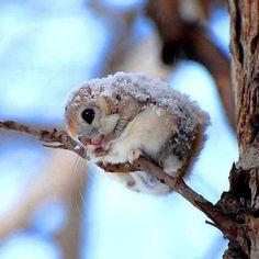 A Japanese dwarf flying squirrel..