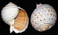 Spotted Tun Seashell ~ Large Shells