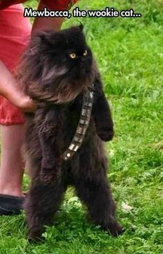 Mewbacca, the wookie cat