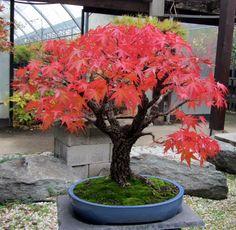 Conifer Trees, Deciduous Trees, Bonsai Trees, Bonsai Pruning, Bonsai Garden, Miniature Trees, Art Of Living, House Plants, Flower Arrangements