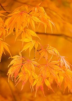 autumn colour of japanese maple leaves