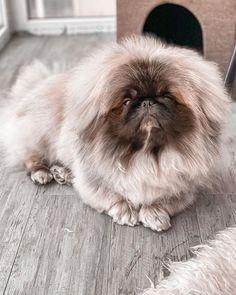 Pekingese Dogs, Japanese Chin, Pugs, Dog Lovers, Animals, Animales, Animaux, Animal, Animais