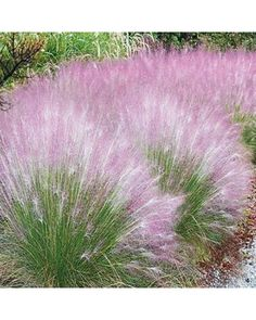 This colorful ornamental grass creates a sweet, pink cloud in the back of a sunny border or as a stand-alone specimen in a perennial bed. Blooms appear in late summer. A dependable variety, Cotton Candy Grass tolerates h Outdoor Plants, Outdoor Gardens, Outdoor Spaces, Cotton Candy Grass, Ornamental Grasses, Ornamental Grass Landscape, Front Yard Landscaping, Landscaping Ideas, Landscaping Software