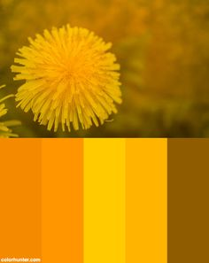 Dandelion+In+Yellow+Color+Scheme