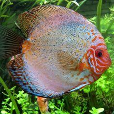 Cuidados del pez disco - ExpertoAnimal