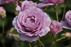 Novalis rose - Google Search