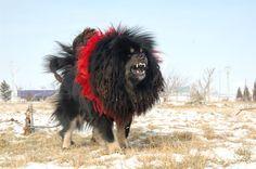 【アジア旅】世界一怖かったチベットの犬をみてください。 - Find Travel
