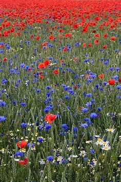 midsommar blommor wil ik ook wel zo mijn achtertuintje... met zoemende bijtjes en hommeltjes... About Sweden, Felder, Summer Solstice, Swedish Recipes, Farm Cottage, Wildflowers, Blue Flowers, Champs, Norway