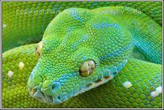 Facts Pod: Green Tree Python