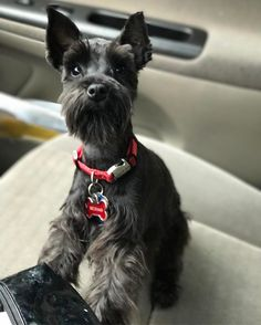 67 Likes, 1 Comments - Beckham The Toy Schnauzer (@toy_schnauzer) on Instagram