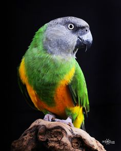 "An African Senegal named ""Merlin."" My first ever ""bird"" shoot. Parrots tend to be very curious during the shoot and really do not disappoint when it comes to posing! Tropical Birds, Exotic Birds, Colorful Birds, Cockatiel, Budgies, Parrots, All Birds, Love Birds, Pretty Birds"