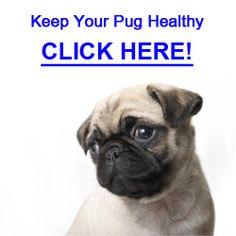 Common Pug Skin Problems