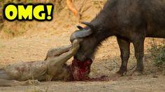 Amazing Predators Fight ► Lion vs Buffalo Who Would Win?► Best Animal At...