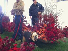 Ok, I'm ready to impress the @RoseParade float judges on the @NaturalBalance float #RosePets
