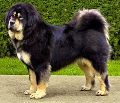 Country of origin Tibet The Tibetan Mastiff (Do-khyi) is an ancient breed and type of domestic dog ( Canis lupus familiaris ). Huge Dog Breeds, Huge Dogs, Giant Dogs, Most Popular Dog Breeds, Puppy Breeds, Mastiff Breeds, Mastiff Dogs, Dogue Du Tibet, Tibetan Mastiff Dog