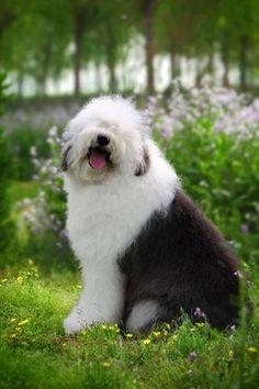 Hermosos Cachorros Antiguo Pastor Ingles Blancos *
