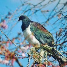 NZ native Wood Pigeon or Kereru in my backyard by Kristin Hyde