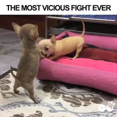 Cutest Fight You Will EveR See In Your Life - Funny Dog Quotes - Chihuahua are cute Even When They are fighting for all chihuahua lovers out theire Take Your chihuahua lovers shirt or goodies to show the Word The love you have for your little friend ! Funny Dog Videos, Funny Animal Memes, Cute Funny Animals, Funny Animal Pictures, Cute Baby Animals, Funny Dogs, Humor Videos, Animal Funnies, Pet Memes
