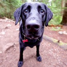 Ruby, Labrador Retriever, Cove Forest, North Vancouver, BC//the dogist
