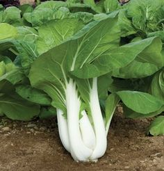 Pac Choi Joi Choi D507A (Green) 100 Seeds by David's Garden Seeds David's Garden Seeds http://www.amazon.com/dp/B00JNW6EBU/ref=cm_sw_r_pi_dp_Fk2lub0NBG9D5