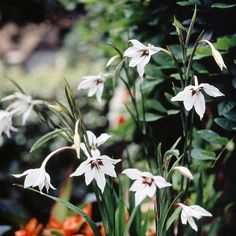 Sometimes called Acidanthera, fragrant gladiolus offers white summer flowers marked with purple at the throat: http://www.bhg.com/gardening/flowers/bulbs/summer-bulbs/?socsrc=bhgpin022715fragrantgladiolus&page=3